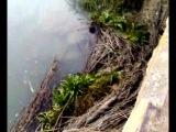 Новомышастовская  ловля рыбы руками . Потапов Иван и друзья